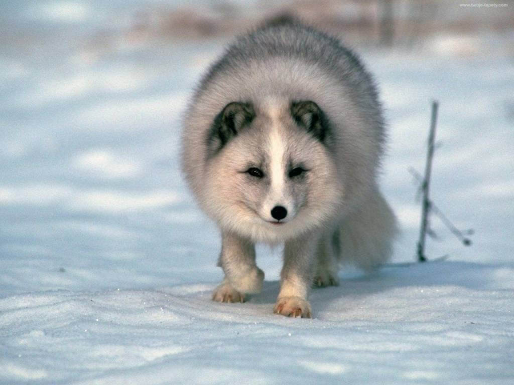 white arctic fox pet