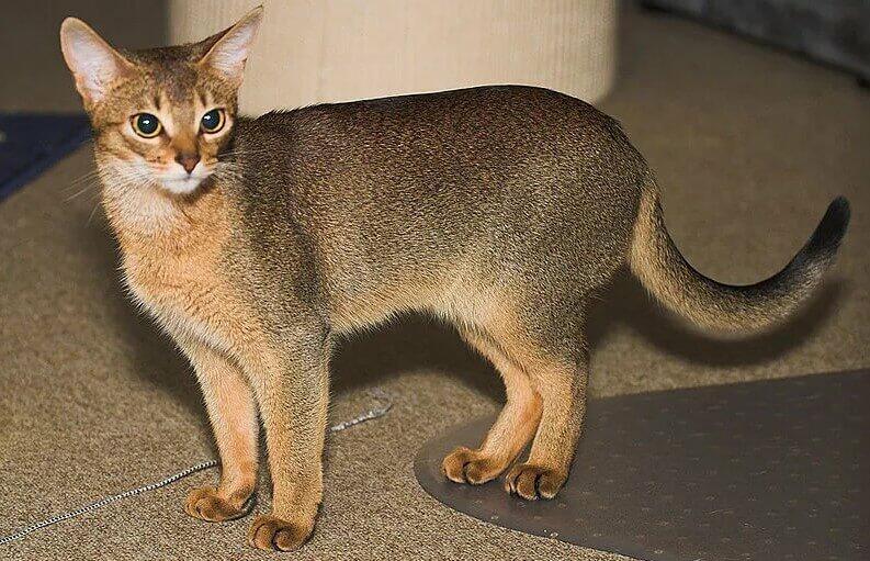 Abyssinian WildCat