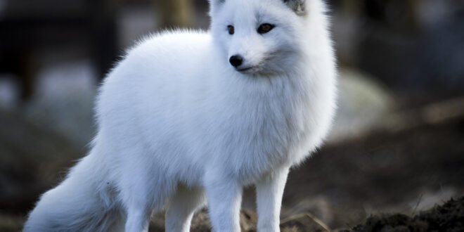All About Arctic Foxes