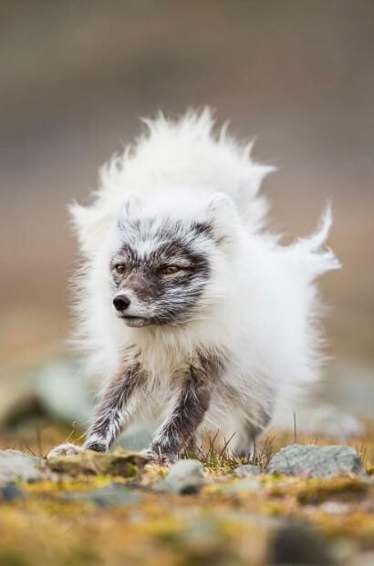 arctic fox baby