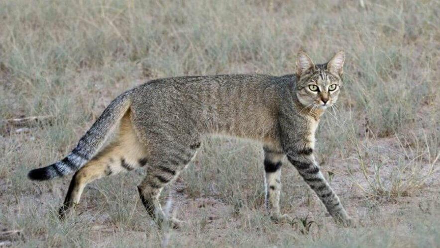 Asiatic WildCat