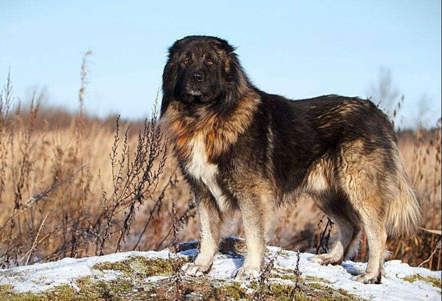 Caucasian Shepherd Dog top 10 dangerous dog; top 10 most dangerous dogs; 10 most dangerous dogs; top 10 dangerous dogs in the world; top ten most dangerous dogs; top 10 most aggressive dogs; top 10 aggressive dog breeds; Top Ten Dangerous Dogs;
