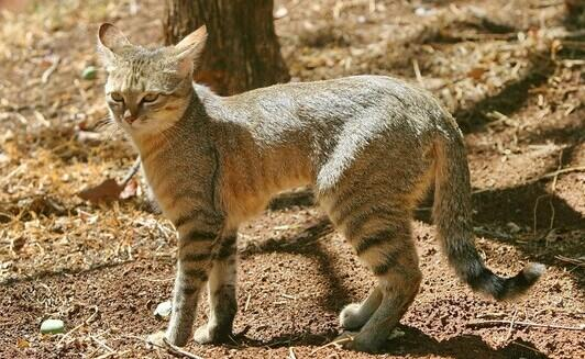 Corsican WildCat