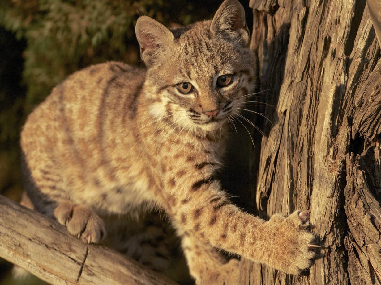 List of Cats In The Wild