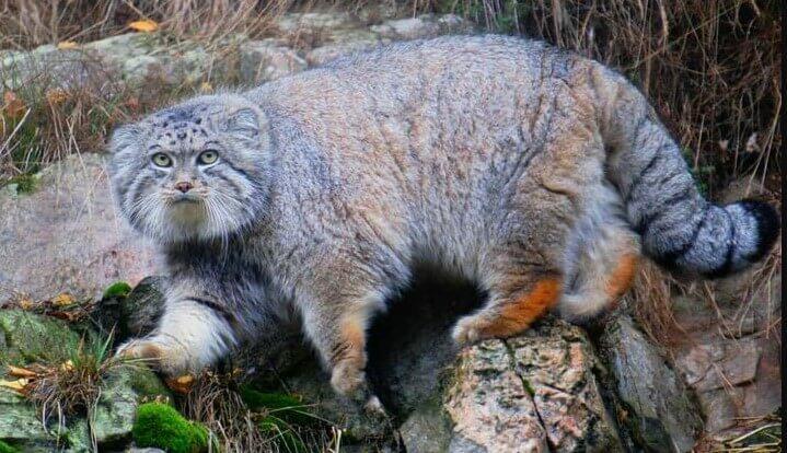 Pallas's Cat