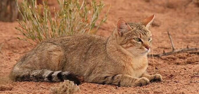 Southern African WildCat