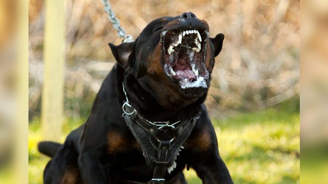Top Ten Dangerous Dogs