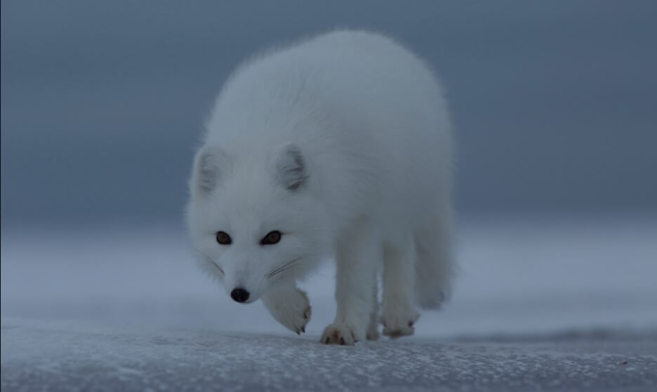 Where Do Arctic Foxes live types of foxes pictures of foxes different types of foxes how many types of foxes are there all types of foxes