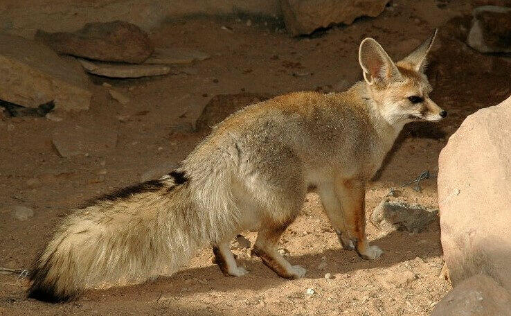 Where Do Blandford Foxes live fox pictures