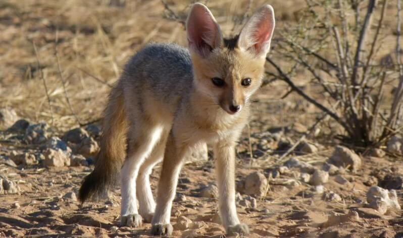 Where Do Cape Foxes live fox pictures
