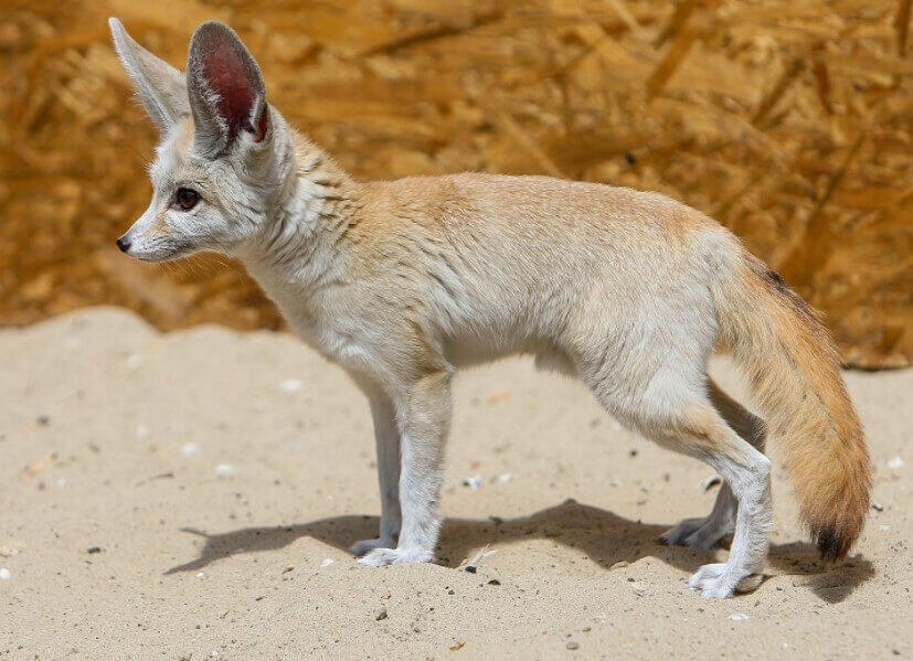 where do fennec foxes live fox pictures