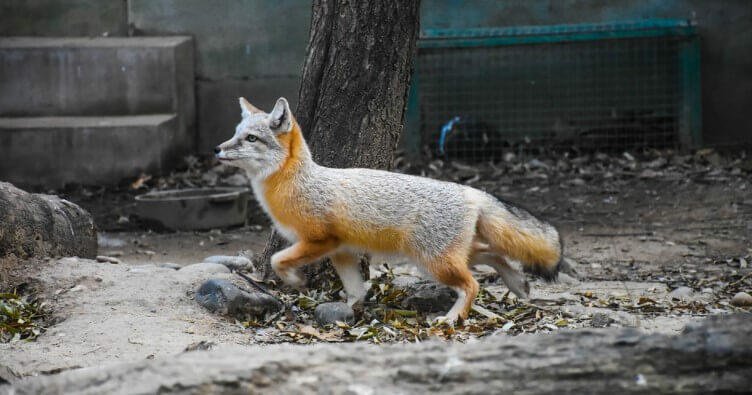 Where Do Gray Foxes live fox pictures