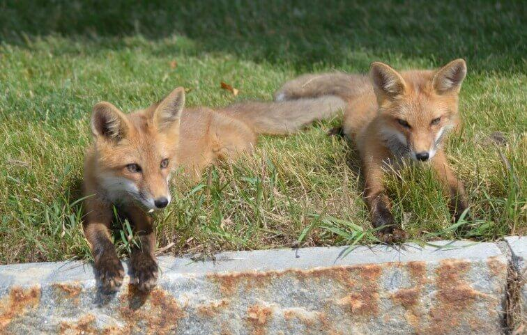 Where Do Kit Foxes live fox pictures