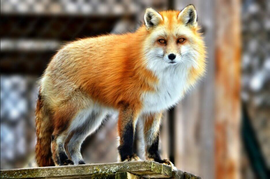 where do red foxes live fox pictures