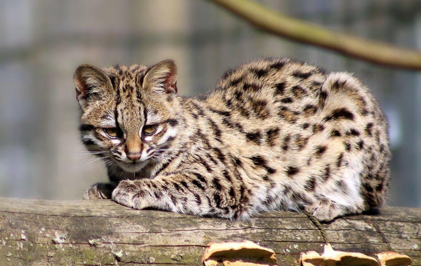 wild cats as a pet