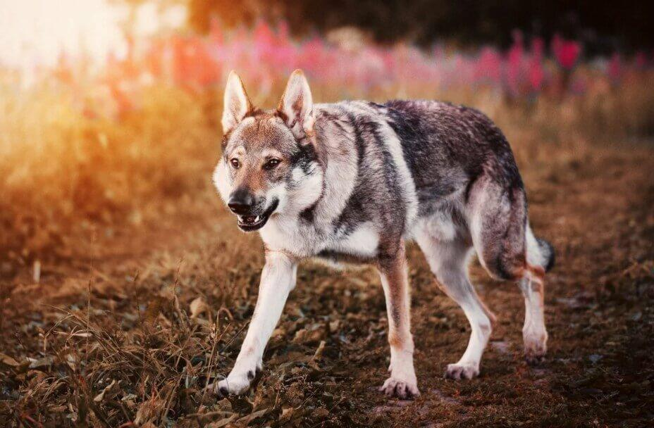 Wolfdog top 10 dangerous dog; top 10 most dangerous dogs; 10 most dangerous dogs; top 10 dangerous dogs in the world; top ten most dangerous dogs; top 10 most aggressive dogs; top 10 aggressive dog breeds; Top Ten Dangerous Dogs;