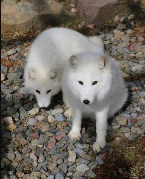 arctic fox mating