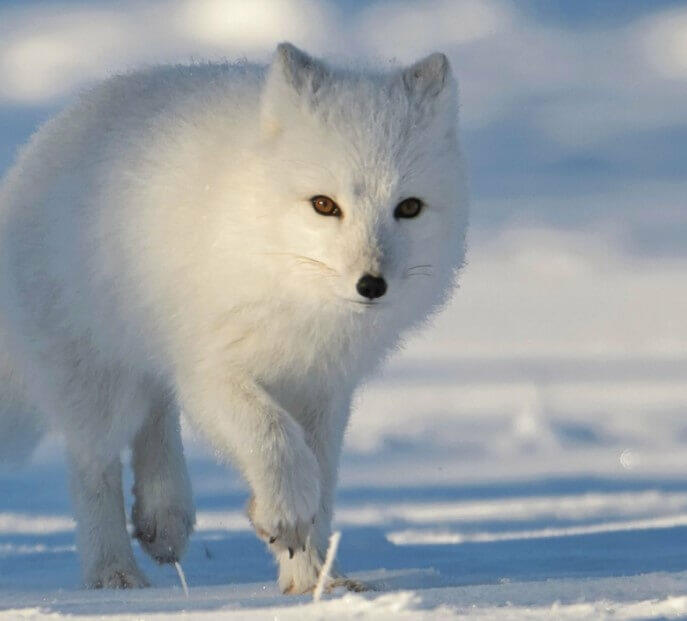 arctic fox snow All About Arctic Foxes
