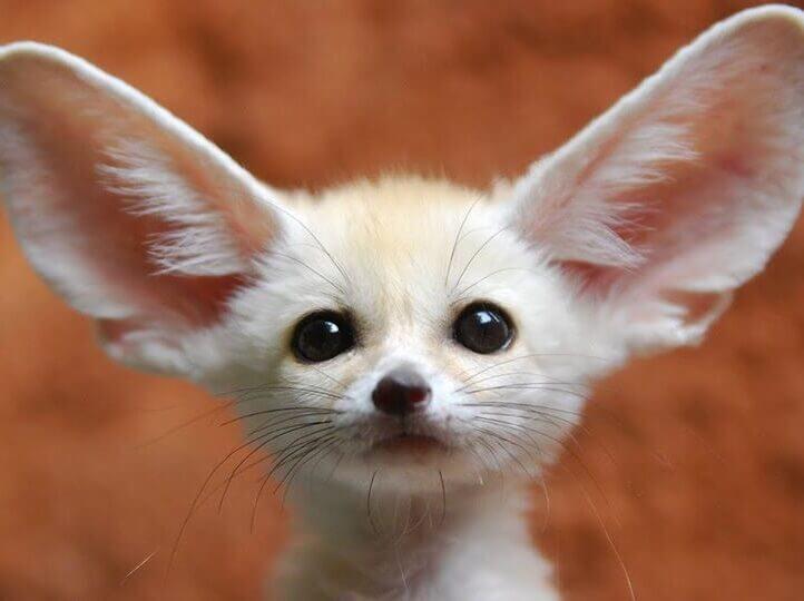 fennec fox pet edited