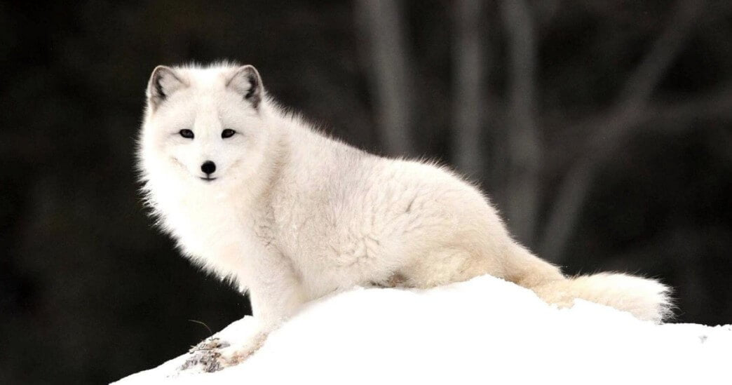 fluffy arctic fox