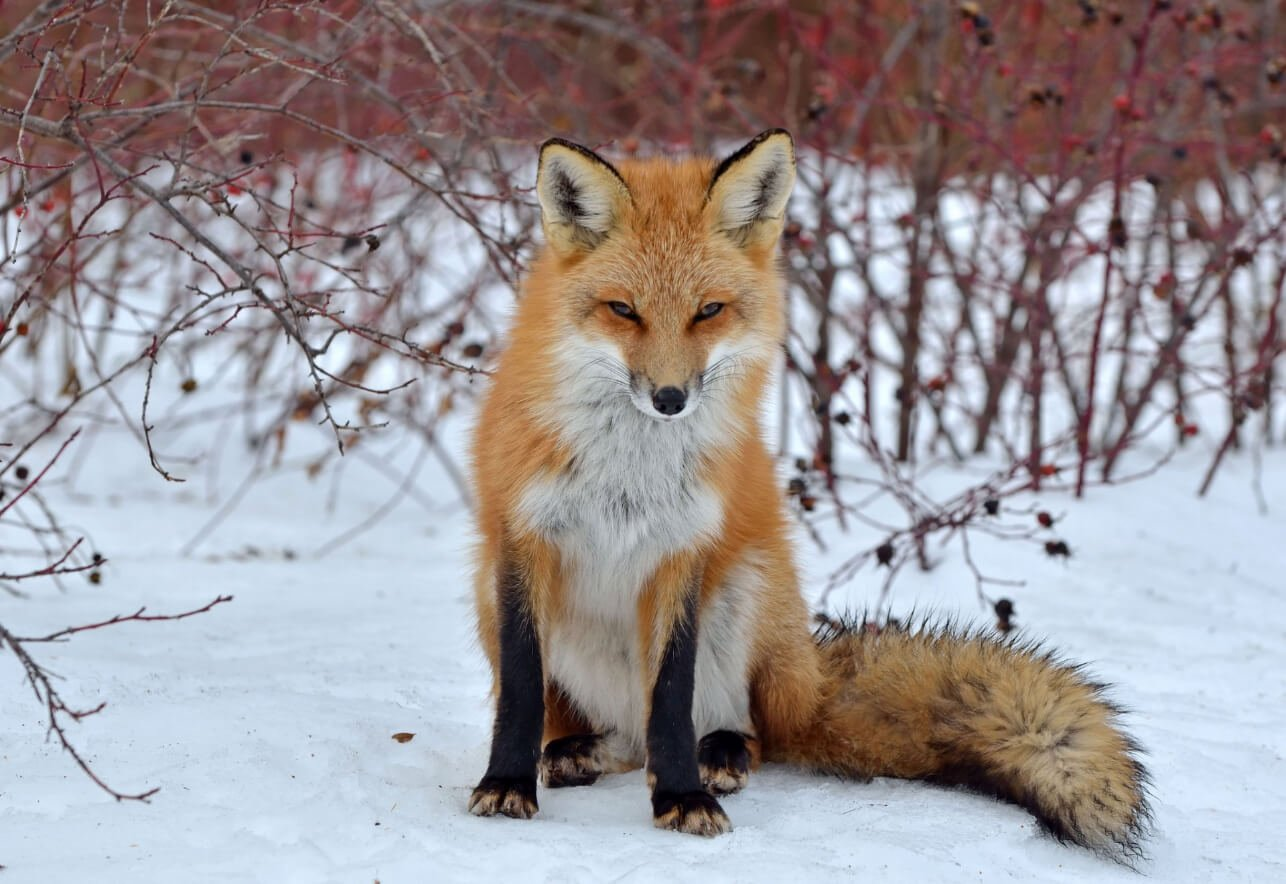 where do foxes live