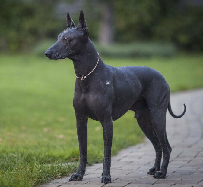 Black Pharaoh Hound Black Pharaoh Hound; Pharaoh Hound; Anubis Pharaoh's dog; Anubis Pharaoh; Dog Anubis; Egyptian dog;Egyptian dog god