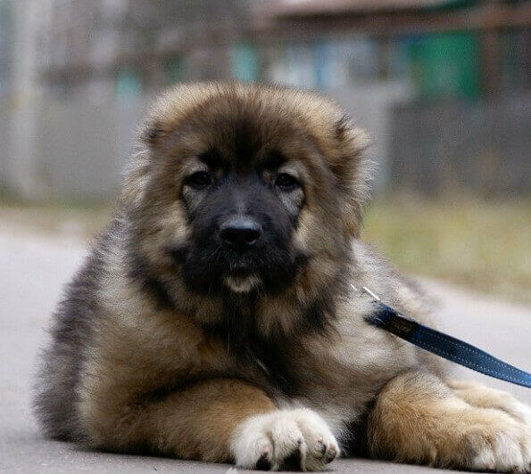 Caucasian Bear Dog Caucasian dog picture