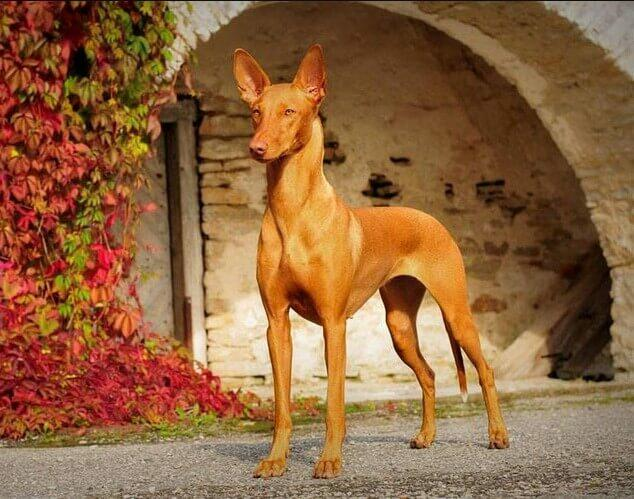 Anubis Pharaoh Hound Black Pharaoh Hound; Pharaoh Hound; Anubis Pharaoh's dog; Anubis Pharaoh; Dog Anubis; Egyptian dog;Egyptian dog god