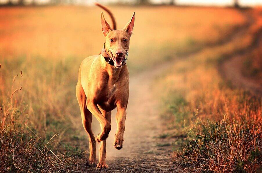 Pharaoh Hound Black Pharaoh Hound; Pharaoh Hound; Anubis Pharaoh's dog; Anubis Pharaoh; Dog Anubis; Egyptian dog;Egyptian dog god
