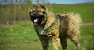 Caucasian Bear Dog