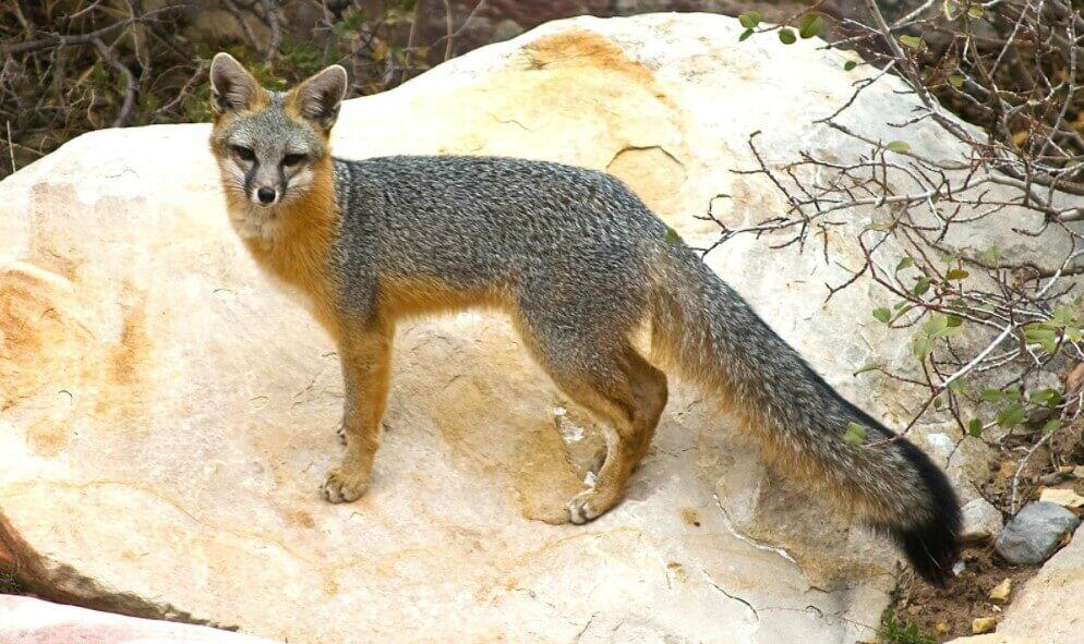 cutest foxes; cute baby fox; cutest fennec fox; cutest arctic fox; cutest fox in the world; cute baby fennec fox; cute pet fox; too cute baby fox;