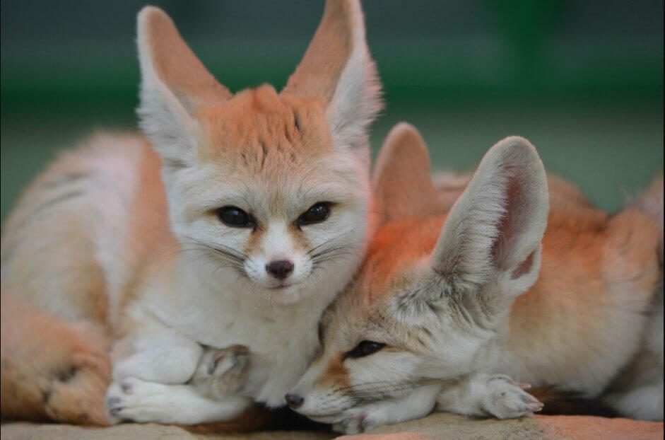 cutest foxes; cute baby fox; cutest fennec fox; cutest arctic fox; cutest fox in the world; cute baby fennec fox; cute pet fox; too cute baby fox;