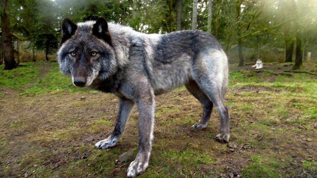 largest wolves