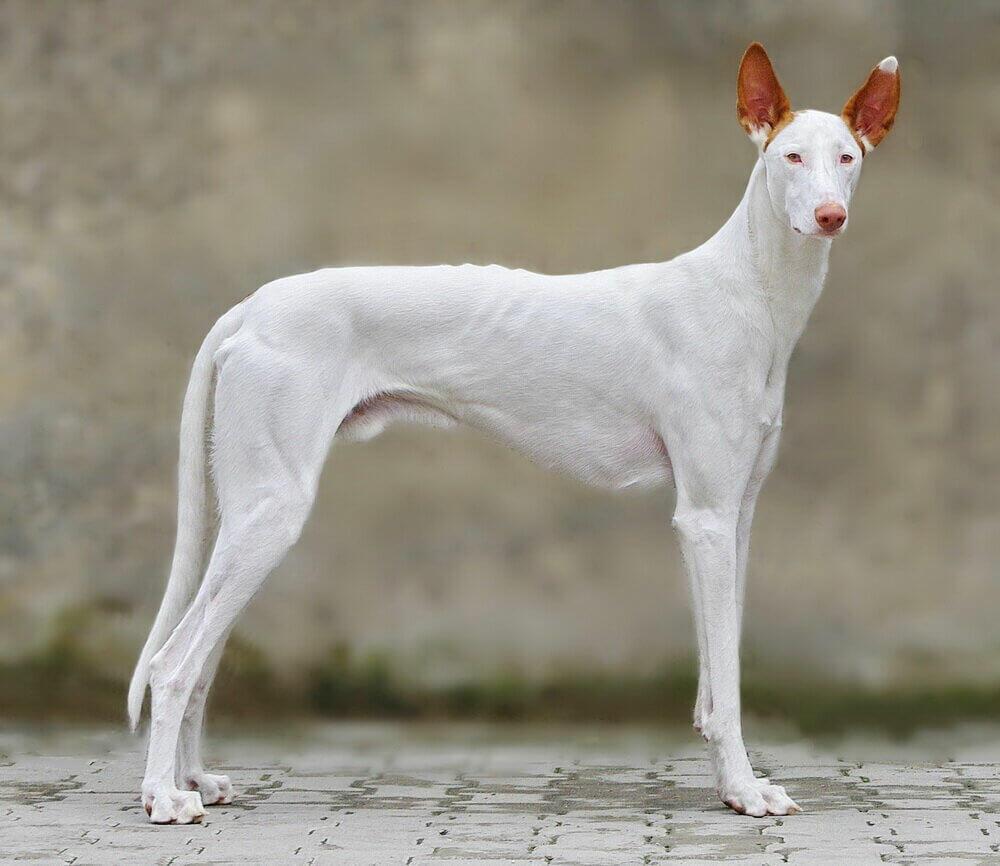 Egyptian Greyhound dog