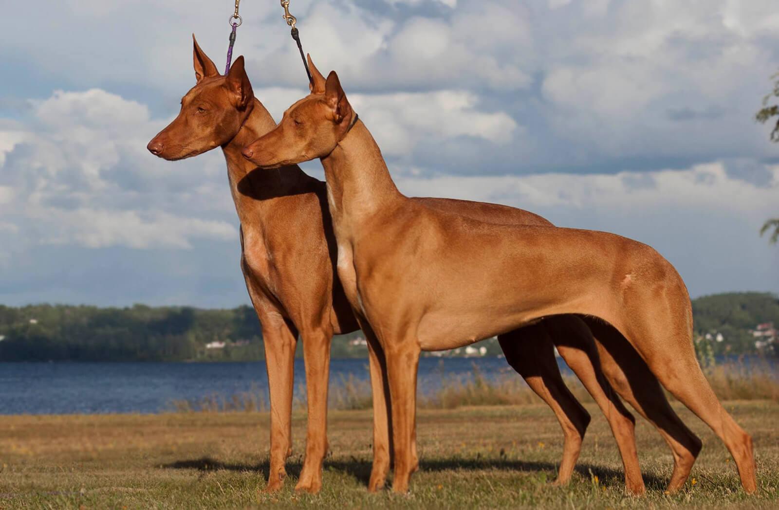 Egyptian Dog Breeds