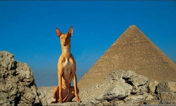 egyptian dog; egypt hound; egypt dog breed ancient egypt dog dogs in egypt; egyptian hunting dog; egyptian guard dog; greyhound egyptian; egyptian pharaoh hound; egyptian hound; egyptian hairless dog; egyptian dog breed; anubis pharaoh hound; egyptian dogs;