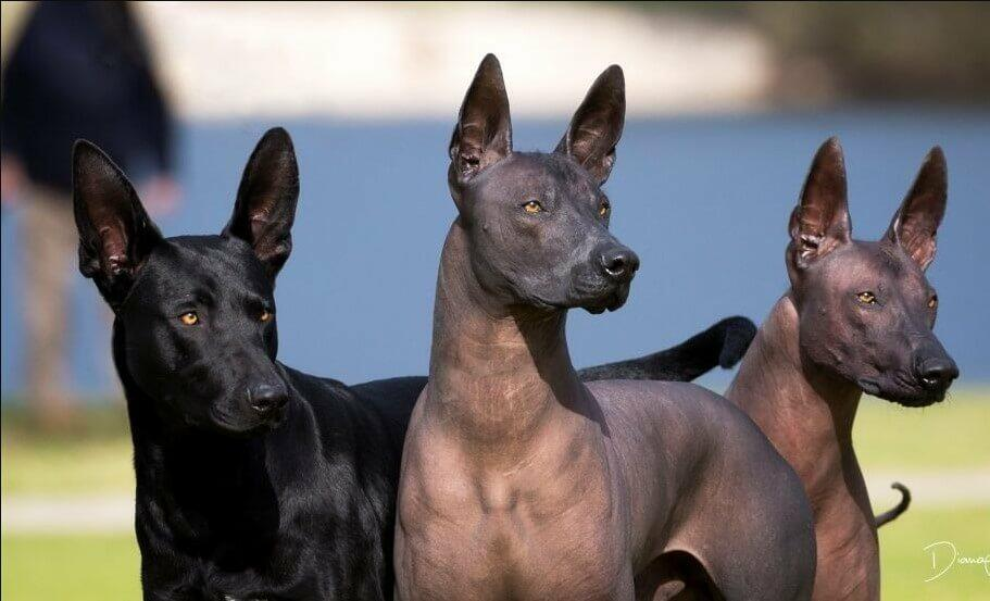 egyptian dog; egypt hound;  ancient egypt dog egypt dog breed dogs in egypt; egyptian hunting dog; egyptian guard dog; greyhound egyptian; egyptian pharaoh hound; egyptian hound; egyptian hairless dog; egyptian dog breed; anubis pharaoh hound; egyptian dogs;