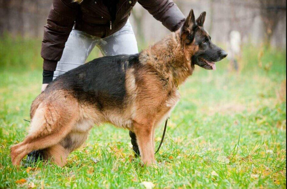 original german shepherd dog; original german shepherd; german shepherd original breed; original german shepherd puppy; great original german shepherds; original gsd;