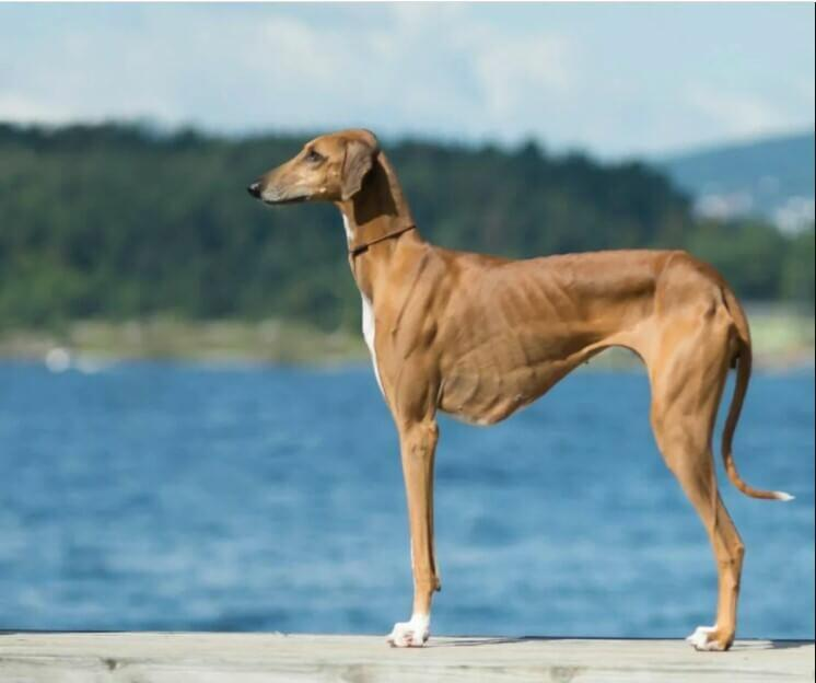 egyptian dog; egypt hound; ancient egypt dog dogs in egypt; egypt dog breed egyptian hunting dog; egyptian guard dog; greyhound egyptian; egyptian pharaoh hound; egyptian hound; egyptian hairless dog; egyptian dog breed; anubis pharaoh hound; egyptian dogs;