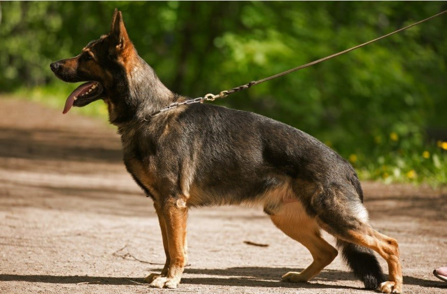 different types of german shepherds dog ; all types of german shepherds; german shepherd breed types; different german shepherd breeds; types of gsd; different types of shepherds; types of german shepherds; types of shepherds; different kinds of german shepherds; Types Of German Shepherds Dogs;