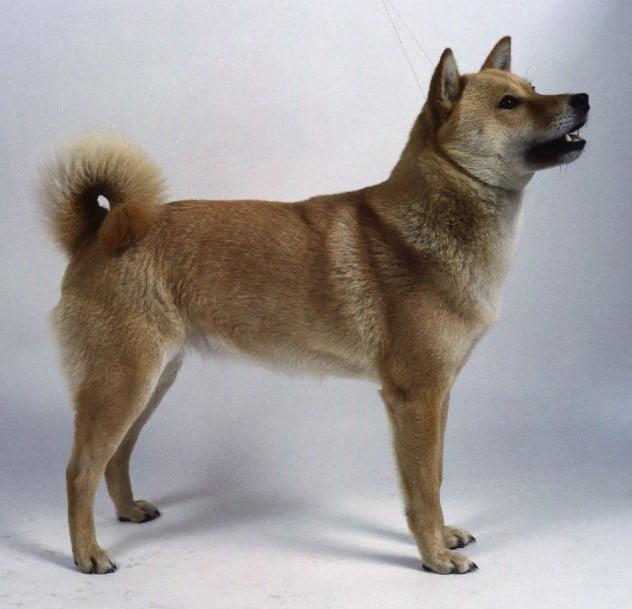 Hokkaido Dog breed  japanese breed; Japanese dog breeds ; Japanese dog breed; spitz japanese; brindle japanese akita; japanese shar pei; akita inu brindle; japanese dog breeds; japanese akita; japanese spitz for sale; japanese terrier; shikoku ken;