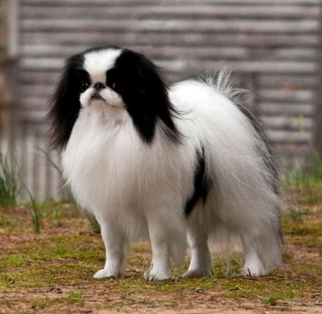 Japanese Spaniel japanese breed; Japanese dog breeds ; Japanese dog breed; spitz japanese; brindle japanese akita; japanese shar pei; akita inu brindle; japanese dog breeds; japanese akita; japanese spitz for sale; japanese terrier; shikoku ken;