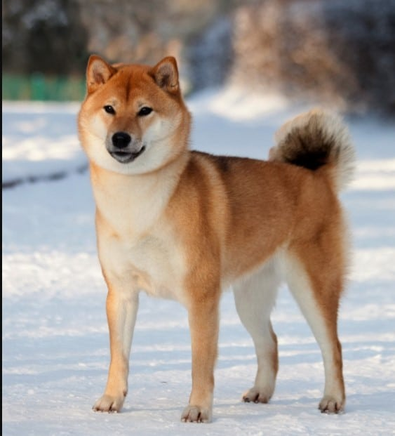 Shiba Inu japanese breed; Japanese dog breeds; Japanese dog breed; spitz japanese; brindle japanese akita; japanese shar pei; akita inu brindle; japanese dog breeds; japanese akita; japanese spitz for sale; japanese terrier; shikoku ken;