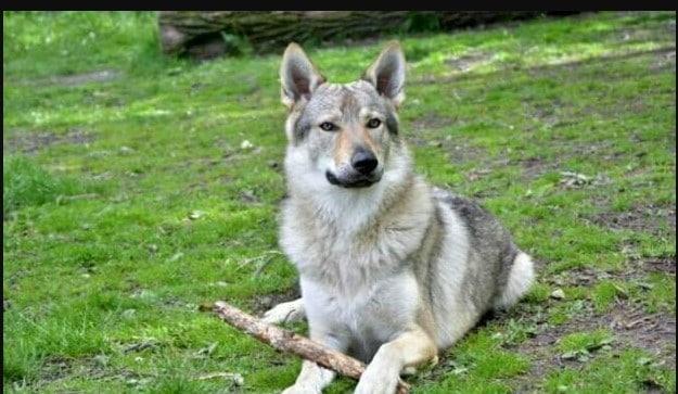 hybrid german shepherd wolf mix