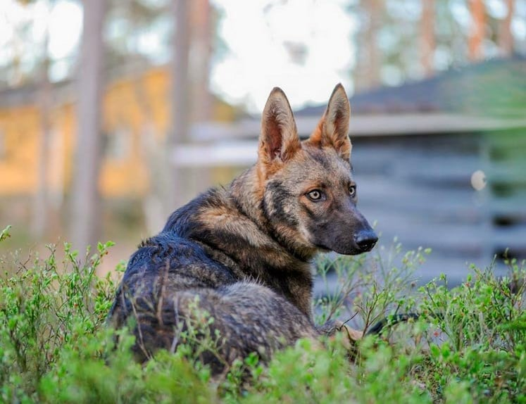 hybrid german shepherd wolf