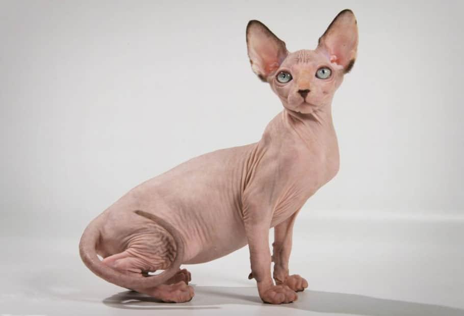 egyptian black sphynx cat. egyptian sphynx cat. egyptian hairless cat. egyptian sphinx cat. sphynx egyptian cat. egyptian bald cat. Egyptian black sphynx cat. sphynx cat egypt. egypt hairless cat. sphinx egypt cat. egyptian cats. egyptian cat.