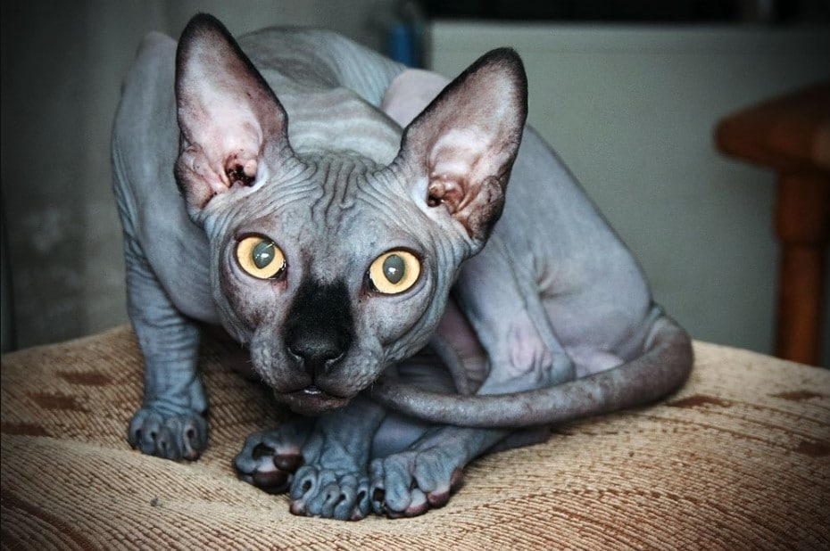 egyptian sphynx cat
