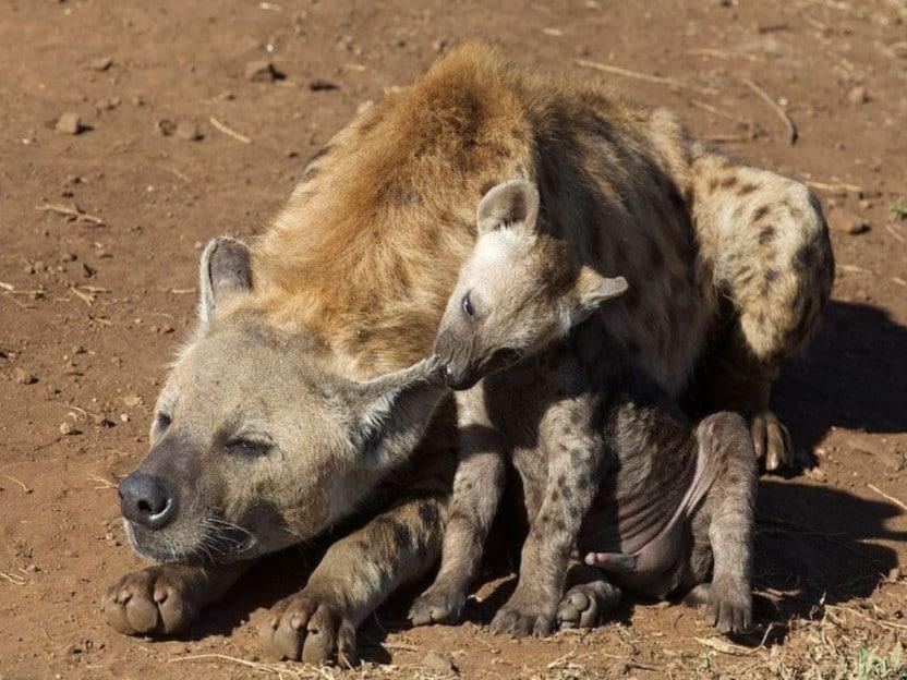female hyena facts