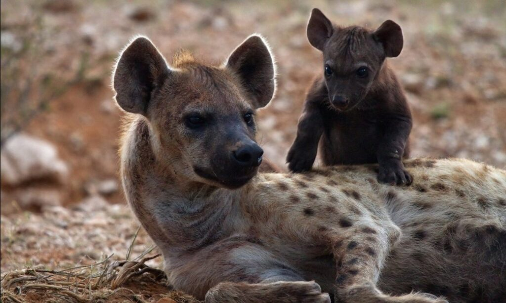 interesting facts about hyenas