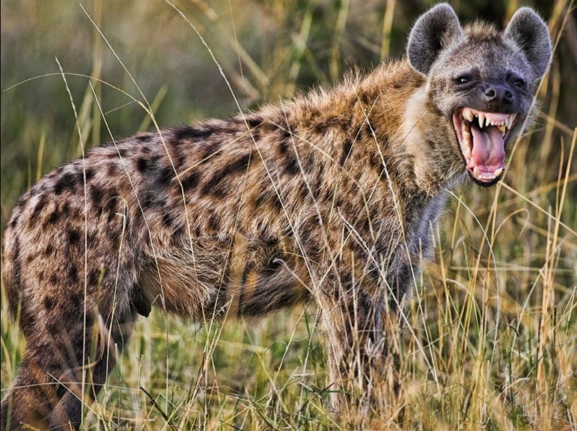 hyena facts